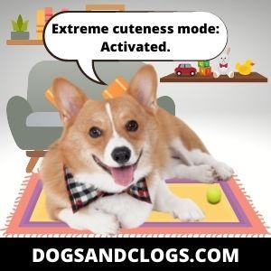Corgi Meme Extreme Cuteness Mode
