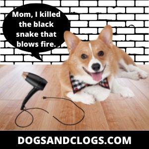 Corgi Meme Killed The Black Snake