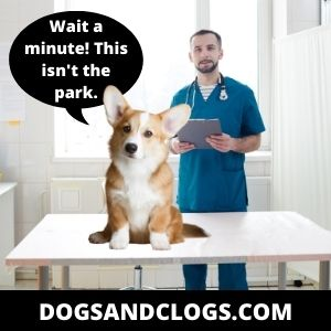 Corgi Meme Thinking Of The Park