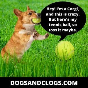 Corgi Meme Toss The Tennis Ball