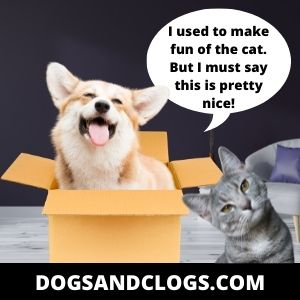 Corgi Used To Make Fun Of The Cat