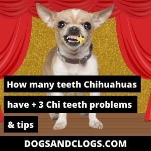 How Many Teeth Do Chihuahuas Have