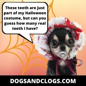 How Many Teeth Do Chihuahuas Have As A Puppy