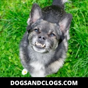 Malocclusion In Chihuahuas