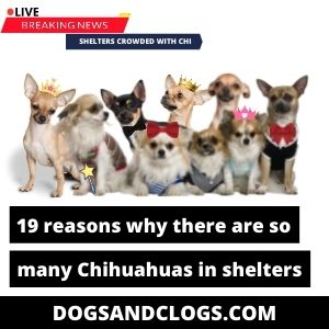 Why Are There So Many Chihuahuas In Shelters