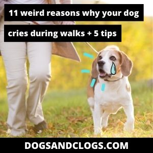 Why Does My Dog Cry During Walks