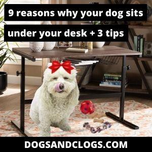 Why Does My Dog Sit Under My Desk