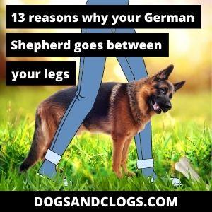 Why Does My German Shepherd Go Between My Legs