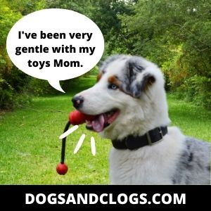 Your Dog Cries When Carrying Toys Because Of Its Hunting Instincts