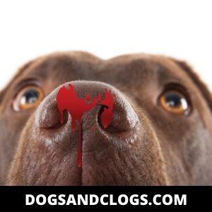 Dog Rubs Nose On Carpet Until It Bleeds