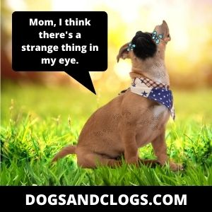 Foreign Body In Dog's Eye