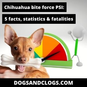 What Is The Bite Force Of A Chihuahua