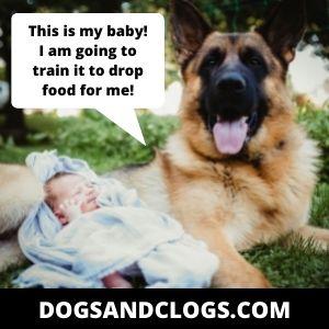 Baby German Shepherd Memes