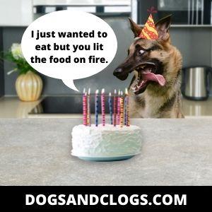 German Shepherd Birthday Memes