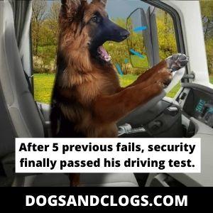 German Shepherd Driving Car Meme